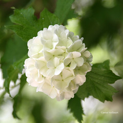 36-IMG_1699 (hemingwayfoto) Tags: flickr natur pflanze blüte strauch blühen weis zierstrauch schneeballförmig