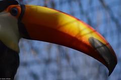 Toucan Toco (DoddieElodie) Tags: france zoo toucan oiseau oiseaux lafleche sarthe paysdelaloire zoodelafleche unesaisonauzoo