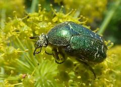 Cetonia carthami (bego vega) Tags: madrid macro insect beetle escarabajo vega vf bv bego villosa insecto coleoptera scarabaeidae coleptero thapsia cetoniinae