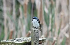 Tree Swallow (careth@2012) Tags: bird nature wildlife treeswallow