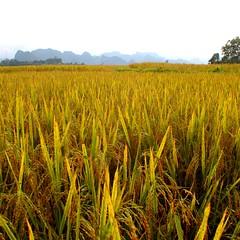 Rice is coming. #landscape #green #nature #beautiful #rice #vietnam #travel #photo #canon #paisaje #natural #bonito #naturaleza #manual #asia (Perensphoto) Tags: travel naturaleza green nature beautiful canon landscape photo asia rice natural bonito paisaje vietnam manual