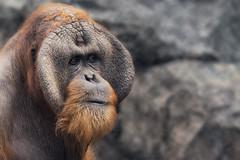 Orang Utan (Blitzknips) Tags: portrait animal closeup zoo hamburg orangutan ape tierpark primate hagenbeck affe a77 animalportrait menschenaffe primat hominidae hominide alpha77 sonya77