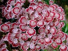 Kalmia latifolia 'minuet' (yewchan) Tags: flowers flower nature colors beautiful beauty closeup garden flora colours gardening vibrant blossoms blooms lovely mountainlaurel kalmia kalmialatifolia calicobush