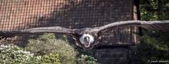 Unter Geiern flugshow vogelpark walsrode (gorgar671) Tags: canon eos vgel geier vogelpark flugshow walsrode 650d