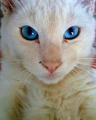 Foster, o gato (jennifer.prate) Tags: gato novaodessa gatomania gatobranco