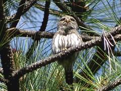 Jun5,2016 DSC08613 Northern Pygmy-Owl (terrygray) Tags: northernpygmyowl springvalleyreservoir latahcounty idaho