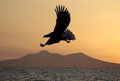 Japan (richard.mcmanus.) Tags: bird japan dawn hokkaido eagle raptor birdofprey gettyimages mcmanus stellersseaeagle rausu kurilislands