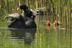 Under protection (manonvanderburg) Tags: nature water birds swimming canon zoom watching lente coot springtime protected sloot youngones naturephotography jongen meerkoetje beveiliging birdphotography sx60 powerrrrshot