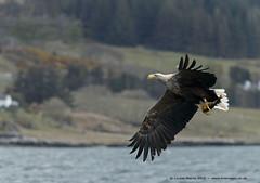 White Tailed Sea Eagle (Louise Morris (looloobey)) Tags: fish sunshine boat warm martin eagle mull swoop talons whitetailedseaeagle april2016 aq7i8941