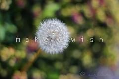 make a wish (ggcphoto) Tags: nature bokeh outdoor dandelion makeawish fragility colorbackground