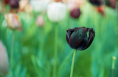 Black tulip (-Alberto_) Tags: macro bokeh tulip nikonfa kodakportra nikkor50mm12