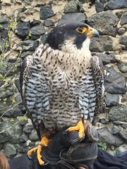 Wanderfalke (Schwanu) Tags: bird animal falke wanderfalke