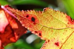 Liquidamber (Gillian Everett) Tags: winter colour 50mm leaf 63 queensland 116 2016 liquidamber liquidamberstyraciflua