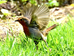 Prepare for take off. (pstone646) Tags: bird nature robin animal fauna kent wings wildlife flight