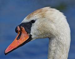 Mute Swan (John Assheton) Tags: norfolk nwt muteswan cleymarshes