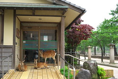 / shelter from the rain (tyodai) Tags: japan shrine sony deer miyajima   a7 itsukushima   hirosima  7 ilce7 sel5518z sel55f18z