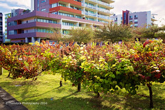 Fruit of the Vine (The0dora Photography) Tags: autumn red newcastle vineyard rainbow grapes gradient honeysuckle olympusomdem1 mzuiko17mmf18 the0doraphotography