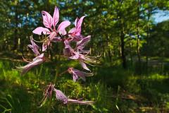 Frassinello (AIIex) Tags: flower nikon wideangle fiore maro d90 grandangolare dittamo