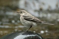 Pied wagtail (juv) (Shane Jones) Tags: bird river nikon wildlife juvenile d500 piedwagtail wagtail tc14eii 200400vr