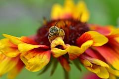 DSC_9708 (sylvettet) Tags: flower nature abeille insecte 2016 nikond5100