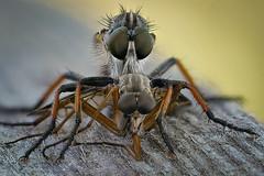 Eine Raubfliege hat eine fast gleich groe Schnepfenfliege erbeutet (AchimOWL) Tags: macro lumix fly outdoor wildlife ngc natur panasonic makro insekt tier insekten fliege schrfentiefe asilidae rhagionidae raubfliege zweiflgler gx80 jagdfliege postfocus
