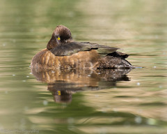I've got my eye on you (ELeaPhotography) Tags: duck nikon wildlife tufted 200500mm d7100