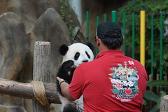 DSC04065 (kuromimi64) Tags: bear zoo panda malaysia nationalzoo kualalumpur giantpanda   zoonegara       nuannuan selangordarulehsan  zoonegaramalaysia