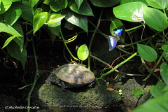 Morpho peleides (Michelle Christin) Tags: macro water canon butterfly wasser papillon makro insekt schmetterling mainau schildkrte 60d edelfalter