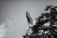 Heron Restrospective 06.01.2013 (nwalthall) Tags: blackandwhite egrets