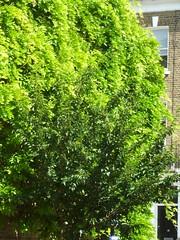 P1140568 Shades of Green (londonconstant) Tags: photo southlondon streetscapes promenades londonconstant londonphoto costilondra