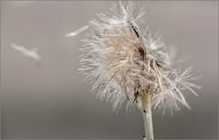 Pusteblume / dandelion (ludwigrudolf232) Tags: lwenzahn pusteblume