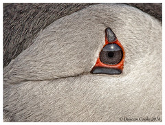 DS0D7116-Puffin-eye (duncancooke.happydayz) Tags: puffin fratercula arctica sea birds coastal coast birdperfect distinguishedbirds bird isle may of british wildlife uk naturesgreenpeace nature native scotland people photo border outdoor animal