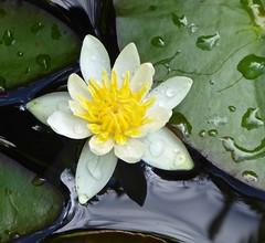 Miniature white waterlily , flower opens 3cm . (Fijgje On/Off) Tags: pond waterlily ngc vijver waterlelie fijgje panasonicdmctz60 pigmaeaalba juli2016