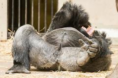 2016-08-11-12h02m30.BL7R8543 (A.J. Haverkamp) Tags: canonef100400mmf4556lisiiusmlens amsterdam zoo dierentuin httpwwwartisnl artis thenetherlands gorilla akili pobfrankfurtgermany dob16101994 penis
