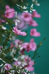 Le bonheur passe comme un songe... (NUMERIK33) Tags: flowers rose pink green vert numerik33