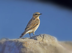Female Wheatear ( Oenanthe oenanthe ) - Should I stay or should i go !! (Mid Glam Sam1) Tags: songbird chat female wales coastal rocks migrate wheatea oenantheoenanthe