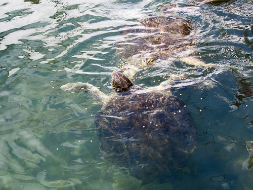 A blind green turtle (because of Fibropapilloma tumors) eating