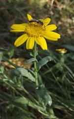 Glebionis segetum (Corn Marigold), Wandlebury Country Park, Cambs, 21.8.16 (respect_all_plants) Tags: cornmarigold glebionissegetum wandlebury countrypark cambridge cambs cambridgeshire wildflowers