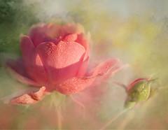 One perfect rose. (BirgittaSjostedt) Tags: rose last summer fall flower bud pink texture art unique beauty sun morning poem birgittasjostedt magicunicornverybest plant pastel serene legacy ie