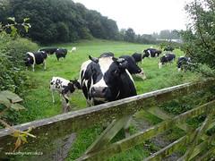 e keswick cows (Simon -n- Kathy) Tags: keswick england lakedistrict lakelands hike rain walk castlerigg