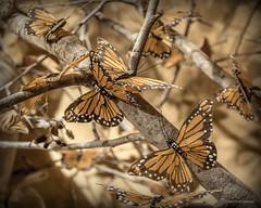 Paper papillon (Jodi Newell) Tags: butterflies calif california canon coronadelmar jodinewell jodisjourneys jodisjourneysphotosgmailcom monarchbutterfly newportbeach paper rogersgardens tree