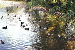 DSC08019 copy (josierustle) Tags: worcester worcestershire water pond autumn ducks