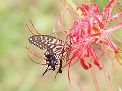 2016-09-25 10.59.57 (Polotaro) Tags: mzuikodigital45mmf18 butterfly insect bug nature olympus epm2 pen zuiko          9  garden flower