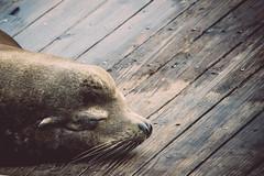 Dreaming (Channed) Tags: america amerika california noordamerika pier39 sanfrancisco us usa unitedstates unitedstatesofamerica vs verenigdestaten sealion animal chantalnederstigt