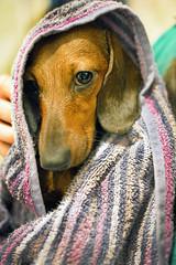 che modello.. (calzona.andrea) Tags: dog art cane nikon andrea sigma dachshund filippo 1835 bassotto salsicce d7100 calzona