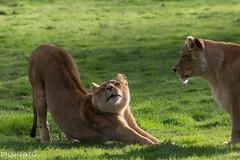 lionne d'angola (phanefelin) Tags: des parc lionne flins dangola