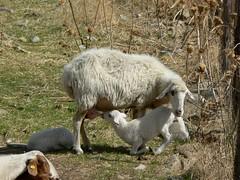 P1040935 (degeronimovincenzo) Tags: sheep lamb nursing agnello pecora allattamento capizzi