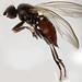 Borborillus uncinatus (female)