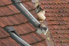 Katten op het dak (Olga and Peter) Tags: roof cats france katten frankrijk dak saintvalerysursomme fp1010108