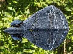 Rock Island II (Rev.Gregory) Tags: cemetery ma pond greg turtle massachusetts olympus salem 75300mm gregory paintedturtle greenlawn em10 vozzo sunturtle mzuiko
